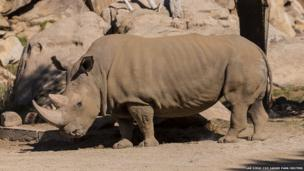 A northern white rhinoceros named Angalifu that died on Sunday is seen in this San Diego Zoo Safari Park