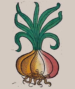 Onion woodcut