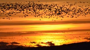 Barnacle geese at sunset