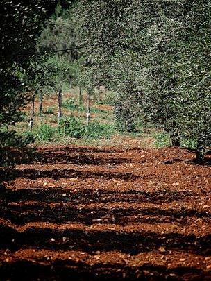 Olive trees (Image: BBC)