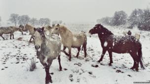 Ceffylau'n mwynhau yn yr eira / Horses having fun in the snow