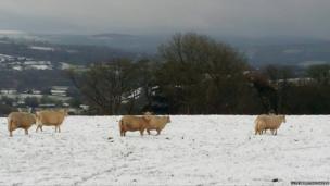 Mae'n anodd pori yn Rhydlewis, de Ceredigion / It's hard work grazing in Rhydlewis, Ceredigion