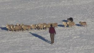 Sheep being rounded up in the snow off the Nine Arches Viaduct in Tredegar