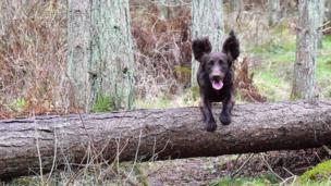 Dog jumping over fallen tree