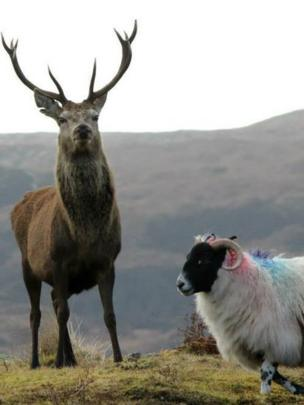 Stag and a sheep