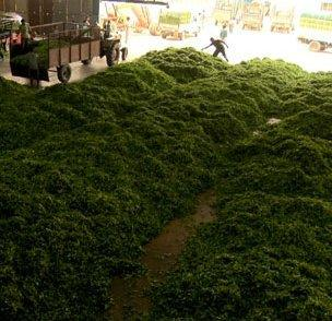 A view of the workers processing mounds of green tea leaves in a warehouse at the Merry View estate