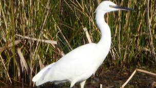 Bill Cluckie took this picture of a little egret looking for a tasty morsel in the wetlands at Wigtown harbour in Dumfries and Galloway.