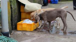 Dogs sniff boxes of fish