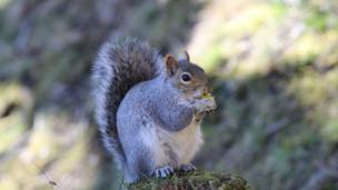A squirrel in Darran Park, Rhondda Valley