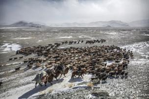 Herder Shohan's livestock on their spring migration route - copyright Timothy Allen