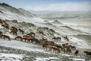 Animals head uphill on their migration route in the Altai Mountains, Mongolia - copyright Timothy Allen