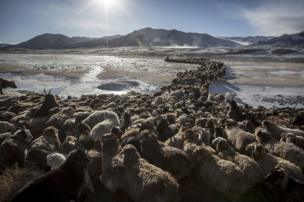 Herding animals across a frozen river in the snowy Altai Mountains in Mongolia - copyright Timothy Allen