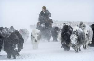 Yaks in the snowy Altai Mountains in Mongolia - copyright Timothy Allen