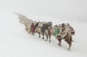 Camels carry provisions for nomads herding livestock through Mongolia's snowy Altai Mountains - copyright Timothy Allen