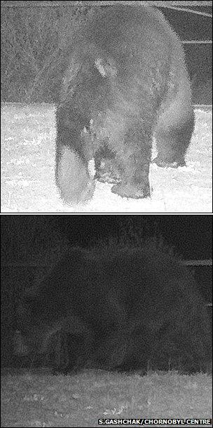 Brown bear (Images courtesy of S. Gashchak/Chornobyl Centre)