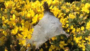 A 'tent' of caterpillars emerging from their cocoon on the Pembrokeshire coast path between Solva and St David's in Pembrokeshire was captured Angela Michael.