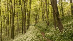 A carpet of wild garlic growing in woodland at Parkmill, on Gower, taken by Peter Seaman.