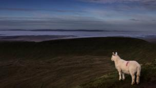 David Short from Cwmbran spotted this lamb on the summit of Pen Y Fan, Brecon