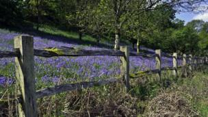 The Bluebell woods at the National Trust's Dinefwr Park are particularly colourful, taken by Colin Riddle