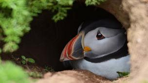 Wayne Jones captured a picture of this puffin on Skomer Island, Pembrokeshire