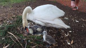 Simon Jones captured a picture of a swan revealing its cygnets and two eggs at Cardiff's Roath Lake