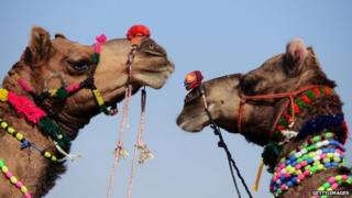 Two camels in the Indian state of Rajasthan