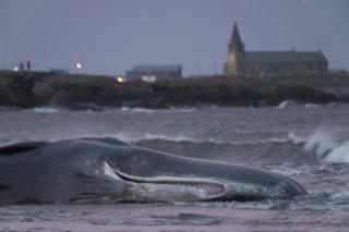 Dead whale on Northumberland shore