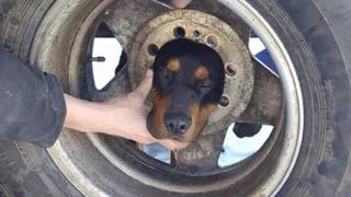 Blaze the dog with head stuck in wheel