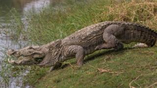 Крокодил се спрема да уђе у језерце