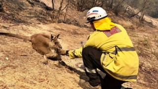 A firefighter feeds a dehydrated kangaroo some water after a bushfire in New South Wales in the first week of November 2019