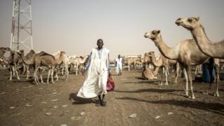 A man walks through Mauritania camel market