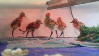 Godwit chicks