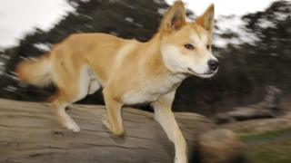 A dingo at a research centre in Victoria, Australia
