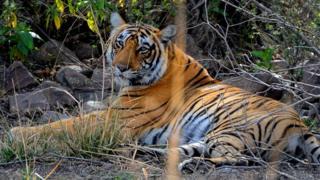 ভারত বন্যপ্রাণী বাঘ