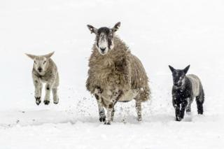 Sheep and lambs trot through the snow