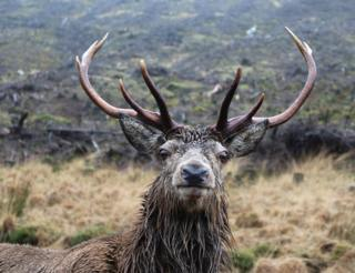 Rain-soaked stag
