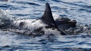 Sunburned dolphin Spirtle