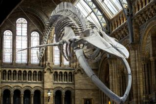 Hope, the Natural History Museum's blue whale skeleton