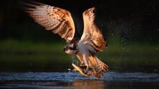 An ospreys catche rainbow trout at Rothiemurchus in Kincraig, Scotland