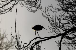 Little Egret near Boxhill Park in Abingdon.