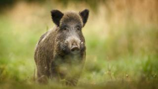 A wild pig