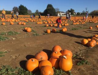 Pumpkins at Millets Farm near Frilford