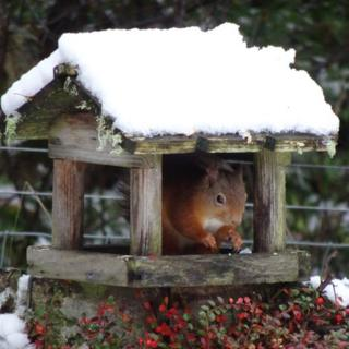 A red squirrel in a wooden cover earing food