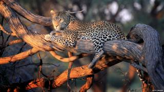 A leopard with a radio collar in the evening light Ngamiland District in Maun, Botswana