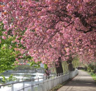Blossom along the footpath by the River Forth in Stirling.