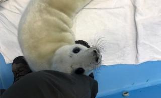 Baby grey seal