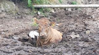 Cow stuck in slurry pit