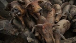Svinje u oboru