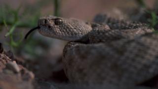 Гримучі змії в пустелі Аризона