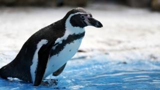 Humboldt penguin (file picture)